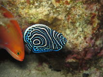 Juvénile αυτοκράτορας angelfish Juvenil empereur Ange Στοκ φωτογραφία με δικαίωμα ελεύθερης χρήσης