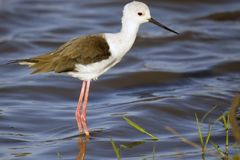 Juv. Black-winged stilt (Himantopus himantopus) Stock Image