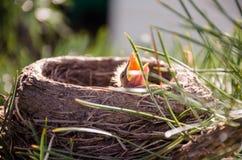 Juv Blackbird in a nest on a pine tree, opened beak Stock Images