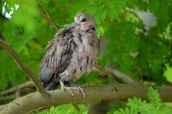 Juv. Ring-necked Dove (Streptopelia capicola) Royalty Free Stock Photo