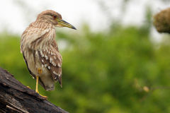 Juv Zwart-bekroonde nacht-Reiger (Nycticorax nycticorax) stock foto