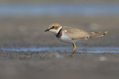 Juvanile Little Ringed Plover Stock Photography
