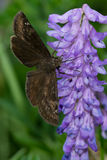 Juvenal's Duskywing Butterfly Stock Photos