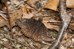 Juvenal`s Duskywing Butterfly. Resting in the leaf litter on the forest floor. Pinery Provincial Park, Grand Bend, Ontario, Canada Stock Photos