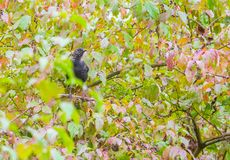 Juvenie Blackbird in autumnal vegetation. A juvenile Blackbird, Turdus merula, hiding in a vegetation with autumnal colors in Italy Stock Photo