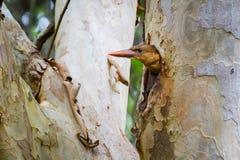 juvenil Brown-voado do martinho pescatore Fotografia de Stock Royalty Free