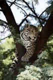 Juvenil de Jaguar Imagem de Stock