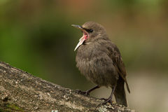 Juvenil do estorninho (Sturnus vulgar) Fotografia de Stock