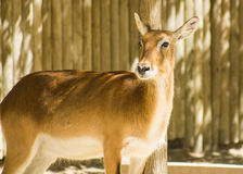 Juvenil lechwe (Kobus leche), a kind of antelope Stock Image