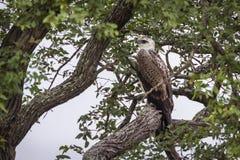 Juvenil marcial de Eagle no parque nacional de Kruger, África do Sul foto de stock royalty free