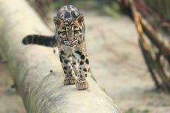 Juvenil nublado do leopardo Foto de Stock Royalty Free