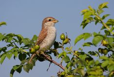 Juvenil Red-backed Shrike on bush Royalty Free Stock Image