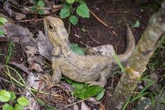 Juvenil Tuatara, espécie endêmico de Nova Zelândia Imagem de Stock