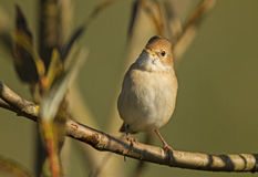 Juvenil Whitethroat Imagem de Stock Royalty Free
