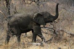 juvenile африканского слона Стоковые Изображения RF