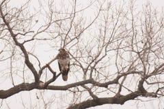 juvenile облыселого орла Стоковое Изображение RF