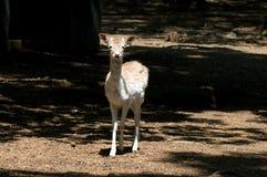 juvenile оленей залежный Стоковое фото RF