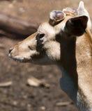 juvenile оленей залежный Стоковые Изображения RF