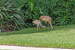 Juvenile and Adult Sandhill Cranes Royalty Free Stock Images