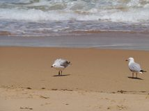 A juvenile and an adult silver gull Stock Photography
