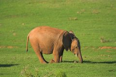 Juvenile African Elephant. On its knees feeding Royalty Free Stock Photography