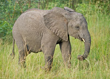 Juvenile African Elephant in the wild. A young African Elephant strutting along in the Greater Kruger National Park bushveld stock photo