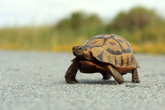 Juvenile African Mountain tortoise. Crossing a road Royalty Free Stock Image
