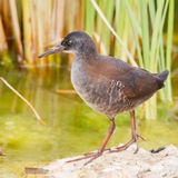 Juvenile African Rail Royalty Free Stock Photo