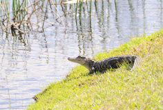 Juvenile Alligator Royalty Free Stock Photo