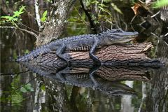 Juvenile Alligator Reflection in Everglades. A juvenile alligator rests on a log in the swamp waters of the Everglades casting a reflection on the water Royalty Free Stock Images