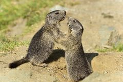 Juvenile Alpine marmot Royalty Free Stock Photo