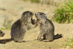 Juvenile Alpine marmot Stock Image