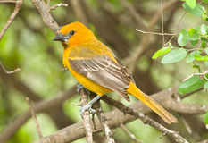 Juvenile Altamira Oriole Royalty Free Stock Photos