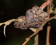 Juvenile Amazon Tree Boa stock photo