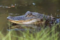 Juvenile American Alligator close up profile stock image