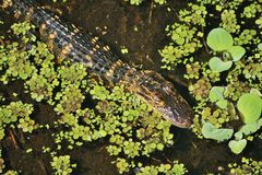 Juvenile American Alligator. Swimming through a big cypress swamp in Southwest Florida Stock Image
