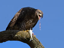 Juvenile American Bald Eagle eating Royalty Free Stock Photo