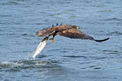 Juvenile American Bald Eagle Fish Grab Stock Photo