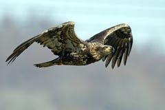 Juvenile American Bald Eagle Stock Photography