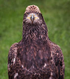 Juvenile American Bald Eagle Fluffs Up Stock Photo