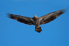Juvenile American Bald Eagle Royalty Free Stock Images