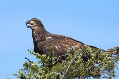 Juvenile American Bald Eagle in tree Royalty Free Stock Images