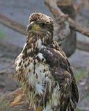 Immature American Bald Eagle Royalty Free Stock Image