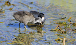 Juvenile American Coot. With parent, Port Aransas, south Texas, United States Stock Image