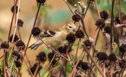 The Juvenile American Goldfinch royalty free stock photo