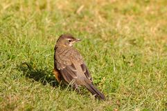Juvenile American Robin Royalty Free Stock Image