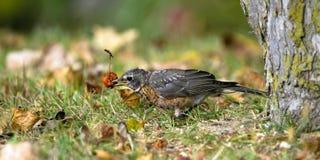 American Robin, Turdus migratorius Royalty Free Stock Images