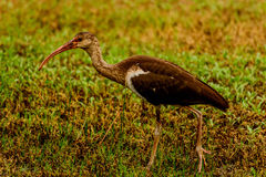 Juvenile American White Ibis Stock Photography