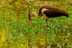 Juvenile American White Ibis Stock Photo