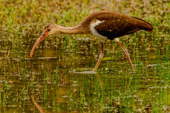 Juvenile American White Ibis Royalty Free Stock Photography